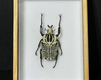 Goliathus Orientalis - Real beetle - collectibles - espécimen -  taxidermia - coleccionable - insects
