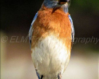 A male Eastern Bluebird posing in the spring time sunshine Photograph