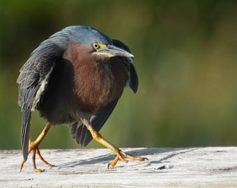 Framed Green Heron strutting