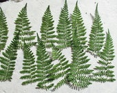25 Pressed Green Ferns, Pressed Flower Supplies, Real Green Ferns, Dried Preserved Ferns, Floral Supplies, Botanical Art, Woodland Designs