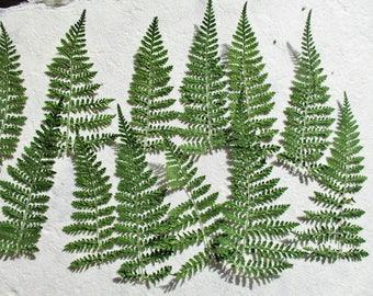 25 Pressed Green Ferns, Pressed Flower Supplies, Real Green Ferns, Dried Preserved Ferns, Floral Supplies, Botanical Art, Woodland Designs