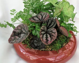 "Dish Garden in Ming bowl with ""Pixie Plants"" is so ready for gifting.  Buy one today."