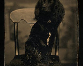 Long Eared Dog Tintype / Vintage 1870s Photograph