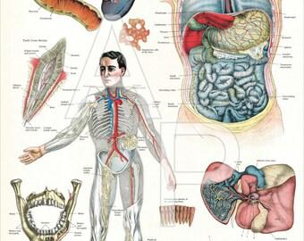 "Human Internal Organs of Digestion Anatomy Poster - 24"" X 36"""