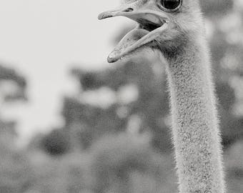 Black and White Animal Collection - Cranky Ostrich