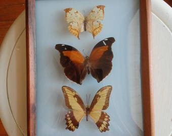 vintage framed butterflies science art lepidoptera lepidopterist nature lover gift naturalist swallowtail taxidermy  american