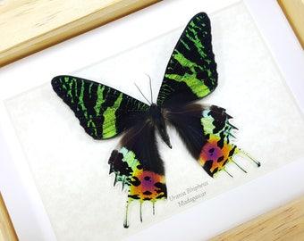 FREE SHIPPING Framed Real Madagascan Sunset Moth Urania Rhipheus (Chrysiridia rhipheus) Taxidermy High Quality A1