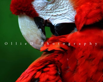 Scarlet Macaw - Fine Art Greeting Card
