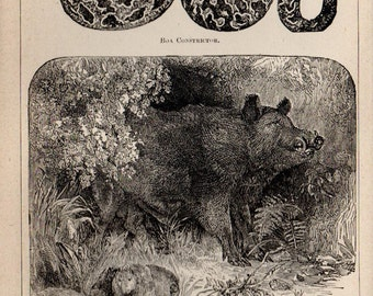 Antique Print, 1871 BOA CONSTRICTOR Boar Blackbird, Engraving, beautiful wall art vintage engraved b/w illustration animals 18