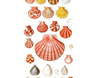 British shells, scallops, Board colorized - SOWERBY G - poster, vintage, reproduction, nautical art, poster, picture