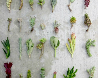 """28 Assorted Variety Succulent Cuttings, 3""""-4"""" Organic Succulents Free Ship Bulk Succulents Succulent Starters Live Succulents Plant Cuttings"""
