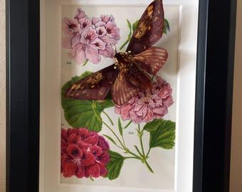 Citheronia Phoronea Moth mounted in a box frame