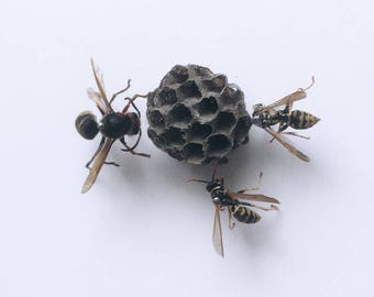 Real wasps and paper nest set in a shadow box frame