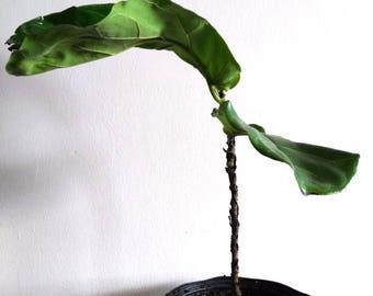 Ficus Etsy