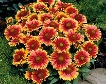 "18- Blanket Flower 'Arizona Sun' plants. 3.5"" potted plants. Free shipping."