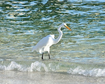 Great Egret Original Photograph Print 8 x 10 (Free Shipping!)