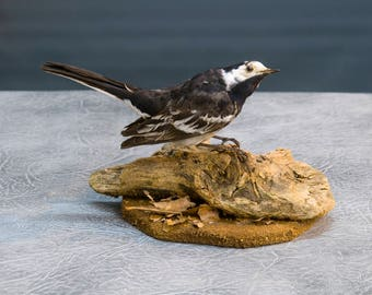 Taxidermy pied wagtail
