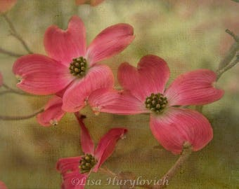 Pink Dogwood Tree, spring, tree blooms, floral, flowers, photograph, photography
