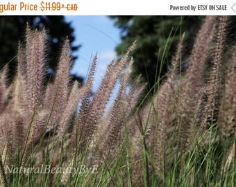 ON SALE NOW tall ornamental grass, mauve wall art, garden photography, nature photography, flower garden, grass, wall art, fine art, nature