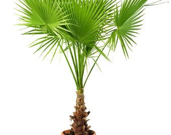Washingtonia filifera seeds (Desert fan palm, California palm) / 25 seeds