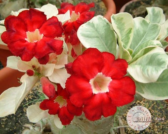 Desert Rose seeds (Variegated leaves) / Adenium / 5 seeds