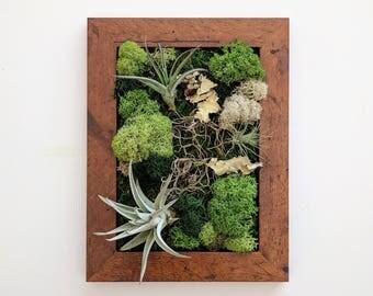 Framed Desktop Garden with Three Air Plants, Reindeer Moss and Lichen 5x7 inches