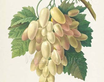 White Grapes Botanical Print, White Grapes Art Print, Wall Art, Fruit Art, Fruit Print, Kitchen Art, Wine Art, Redoute Art, Raisins blancs