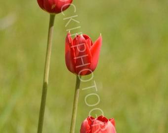 Three Red Tulip Flowers