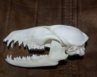 Grey Fox skull..real animal bone..beetle cleaned