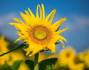 "Sunflower Photo, Sunflower Art, Metal Print, ""Sunflower Morning"""