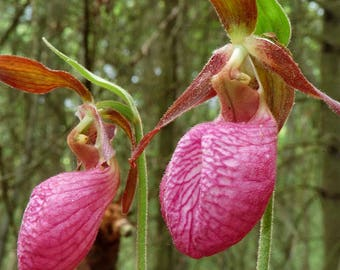 Pink Lady Slippers, Rhizomes  rare double bloom very old plants Limited supply only 2 left FREE SHIP USA
