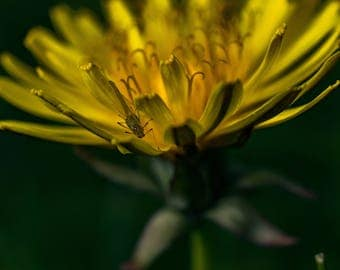 Aphid on a Dandelion Fine Art Photo Print - Wildlife Photography - Macro Photography - Gifts for Nature Lovers - Nature Photo - Flower Photo