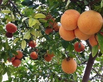 TreesAgain Potted Rio Star Grapefruit - Citrus paradisi - 6 to 12+ inch