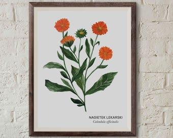 Nagietek lekarski, Common marigold (Calendula officinalis) - illustration - print