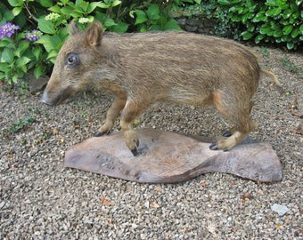 A Vintage French Taxidermy Full Body Mount Young Wild Boar / Marcassin Mounted On A Wooden Base
