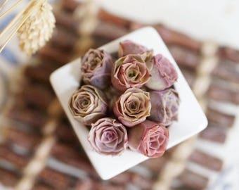 Greenovia Aurea ex El Hierro, Pink Mountain Rose, rare succulent,  10 seeds