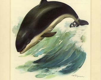Vintage lithograph of the harbour porpoise from 1956