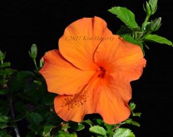 Hibiscus 1125-b Orange