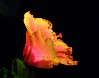 Hibiscus 0757 Multi