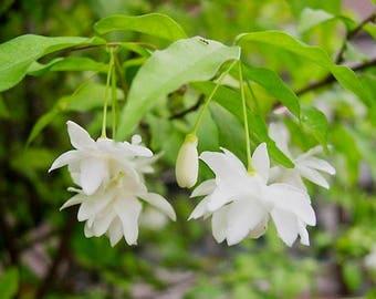 A  Wrightia religiosa Echites religiosa double  flowers