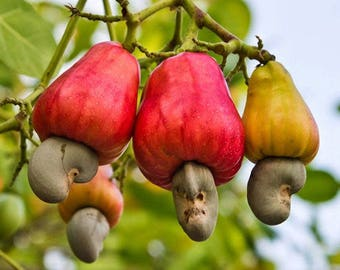The cashew tree Anacardium occidentale