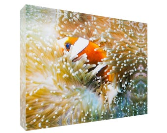 Great Barrier Reef Anemonefish in Sea Anemone 30x20x3cm Acrylic Photography Print