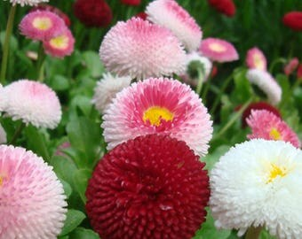 Lawn daisy mix - 150 seeds - Bellis perennis