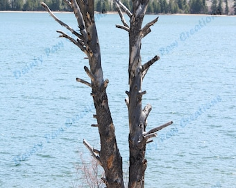 Tree on Lakeshore Photograph