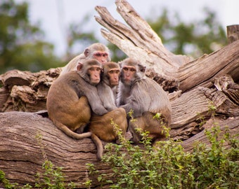 A Family of Monkeys Print