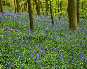 Bluebell Flowers in the Hallerbos Forest, Halle, Belgium