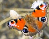 Peacock Butterfly Blank G...