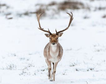 Fallow Deer Buck Blank Greetings Card