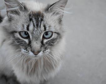 Blue eyed cat framed photo