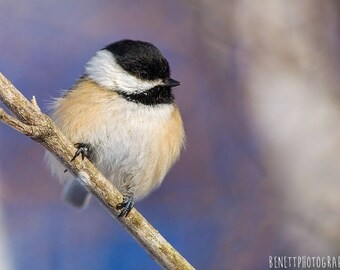 Photograph of the black chickadee in size 20 x 30 cm